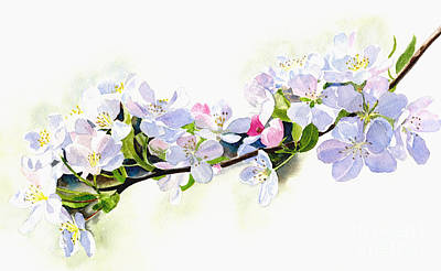 Apple Watercolor Painting - Branch Of White Shadowed Apple Blossoms by Sharon Freeman