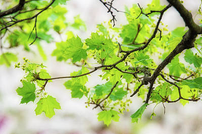 Painting - Norway Maple Branch With Green Leaves At Spring by Judith Barath