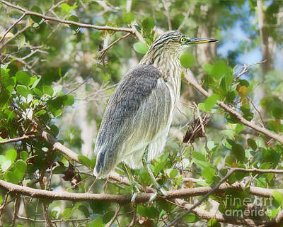 Javan Pond Heron Wall Art - Photograph - Branched Manager by Judy Kay