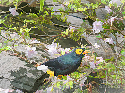 Photograph - Branched Myna by Judy Kay