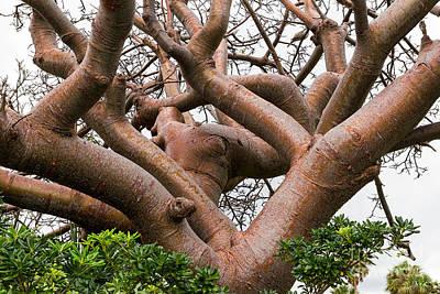 Photograph - Gumbo Limbo Or Coperwood Tree by Les Palenik