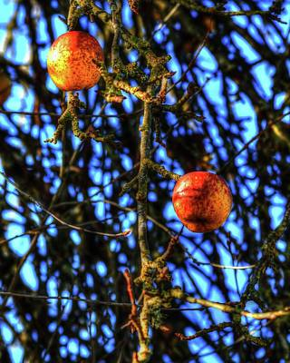 Photograph - Branches Apples by Jerry Sodorff