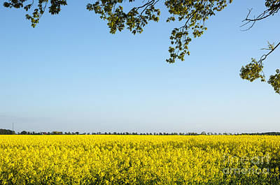 Photograph - Branches At Blossom Rapeseed Field by Kennerth and Birgitta Kullman