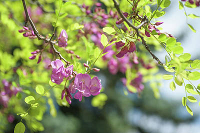 Photograph - Branches Of Blooming Purple Acacia by Jenny Rainbow