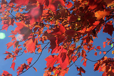 Photograph - Branches Of Red Maple Leaves On Clear Sky Background by Emanuel Tanjala