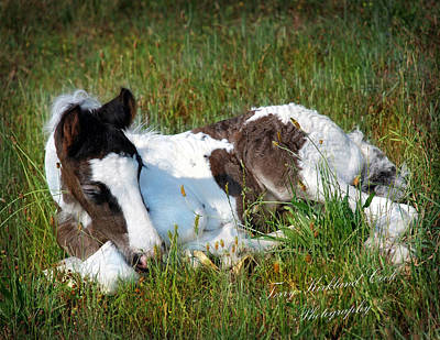 Gypsy Horses Photograph - Brand New Isaac by Terry Kirkland Cook