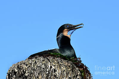 Art Print featuring the photograph Brandt's Cormorant Sitting On Her Nest by Susan Wiedmann