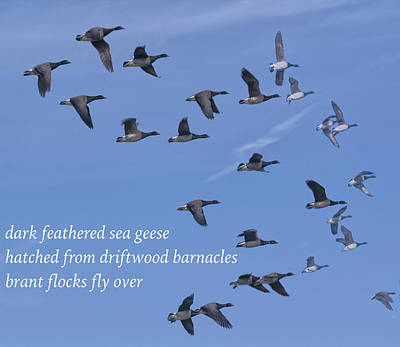 Photograph - Brant Flight Haiku by Constantine Gregory