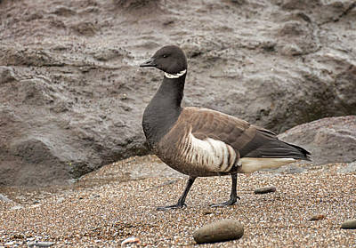 Photograph - Brant On The Beach by Loree Johnson