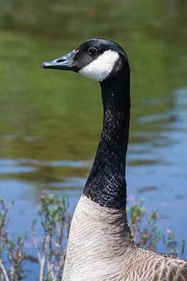 Waterbird Photograph - Branta In Profile by Bruce Frye