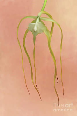 Photograph - Brassavola Cucullata Orchid #2 by Judy Whitton