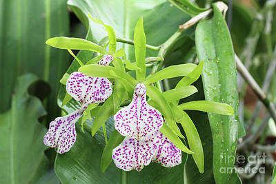 Photograph - Brassolaeliocattleya Binosa Orchid by Judy Whitton