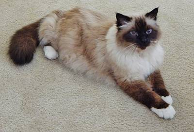 Photograph - Brassy Our Birman by VLee Watson