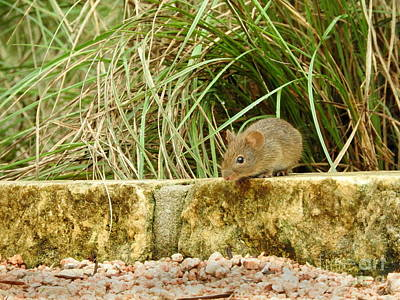 Mouse Photograph - Brave Little Mouse by Tracy Habenicht