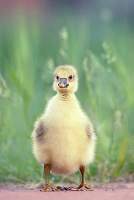 Baby Geese Wall Art - Photograph - Brave New Baby - Gosling Ready To Conquer The World by Roeselien Raimond