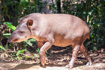 Benis Photograph - Brazilian Tapir Walking by Jess Kraft