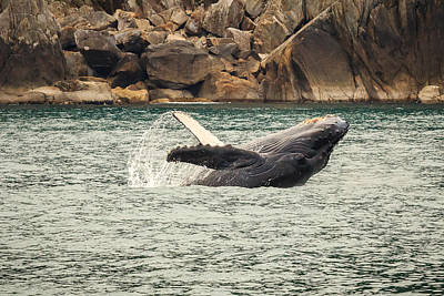 Photograph - Breaching Humpback Calf by Joni Eskridge