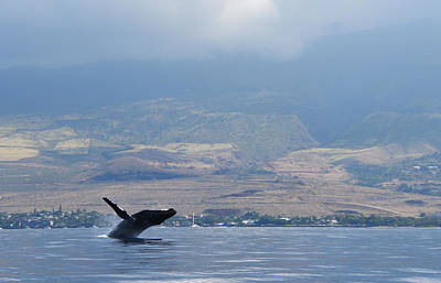 Photograph - Breaching Humpback by Jennifer Ancker
