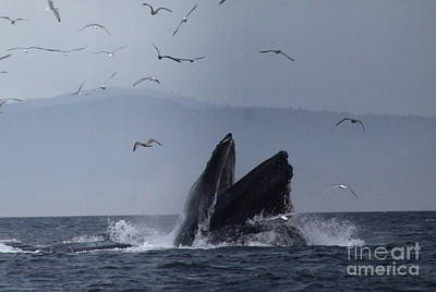 Photograph - Breaching Humpback by Lennie Malvone