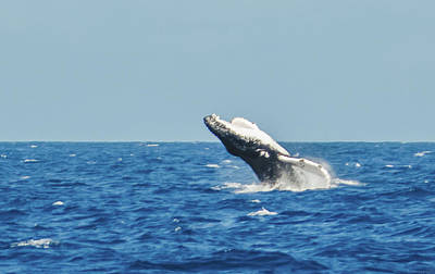 Photograph - Breaching Humpback Off Bermuda by Jeff at JSJ Photography
