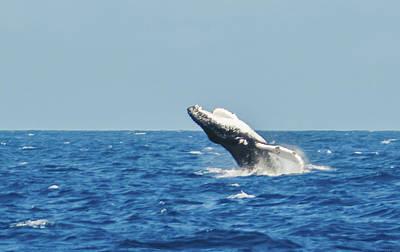 Photograph - Breaching Humpback Off Bermuda by Jeff at JSJ Photography
