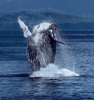 Breaching Humpback Whale Art Print by Daniel Hagerman