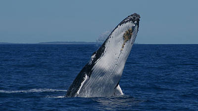 Print featuring the photograph Breaching Humpback Whale by Gary Crockett