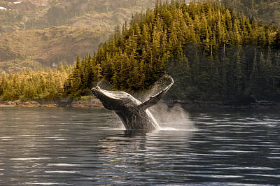 Breaching Humpback Whale In Prince Art Print by Daryl Pederson