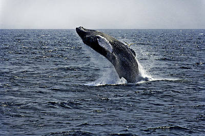 Photograph - Breaching Humpback Whale In The Deep Blue Sea, Gloucester, Me, Atlantic Ocean by Michael Bessler