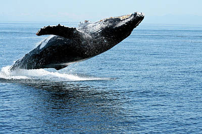 Photograph - Breaching Humpback Whales Happy-2 by Steve Darden