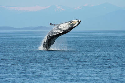Breaching Humpback Whales Happy-3 Art Print