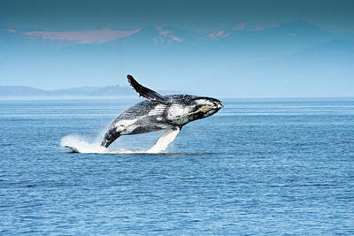 Breaching Humpback Whales Happy-4 Art Print