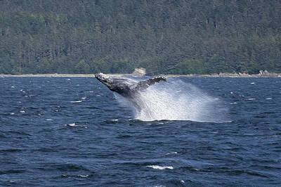 Photograph - Breaching Whale Paint by Richard J Cassato