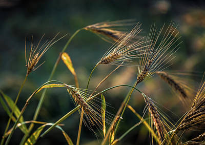 Cornfield Photograph - Bread Nr. 2 by Mah FineArt