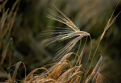 Cornfield Photograph - Bread Nr. 3 by Mah FineArt