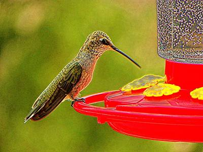 Photograph - Breakfast And The Humming Bird by Joseph Frank Baraba