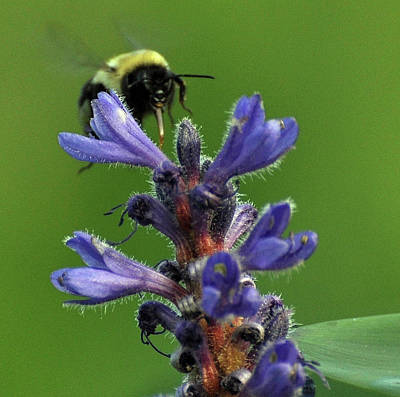 Print featuring the photograph Bumble Bee Breakfast by Glenn Gordon