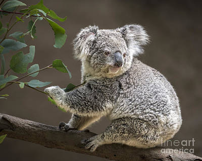 Koala Photograph - Breakfast by Jamie Pham