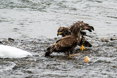 Bald Eagle Photograph - Breakfast Meeting by Mike Dawson