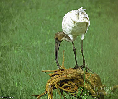 Digital Art - Breakfast With The Ibis by Sarah Sever
