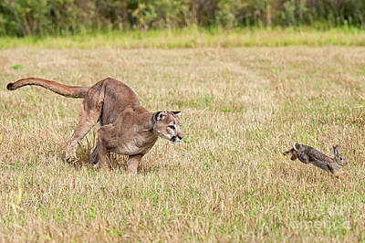 Photograph - Breaking Cover - The Chase Is On by Tibor Vari