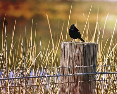 Photograph - Breaking Dawn Blackbird by Judy Vincent