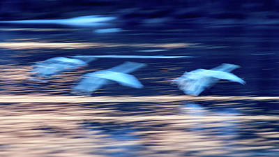Photograph - Breaking The Opposites. Whooper Swan by Jouko Lehto