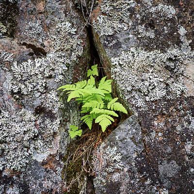 Photograph - Breaking The Stone. Common Polypody by Jouko Lehto