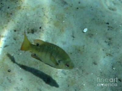 Photograph - Bream Underwater Abstract by D Hackett