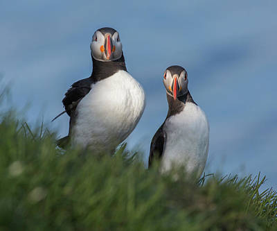 Puffin Photograph - Breast Implants Humor by Betsy Knapp