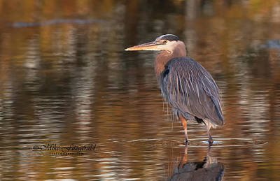 Photograph - Breat Blue Heron Golden by Mike Fitzgerald