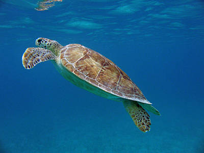 Green Sea Turtle Photograph - Breathe Green by Kimberly Mohlenhoff