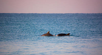 Photograph - Breeching Dolphins by Shelby Young
