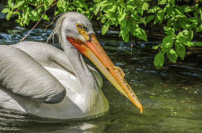 Photograph - Breeding Pelican by Yeates Photography